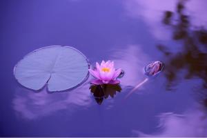 lac-nenuphard-lotus-violet