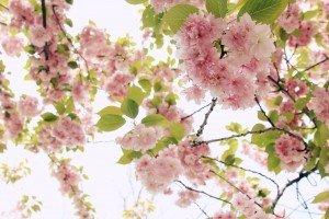 tree-blooms-botanics-pink-flower