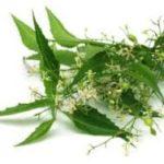 Des plantes ayurvédiques de toute beauté – Le Neem
